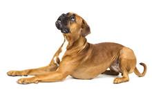 Dog Boxer Breeds On White Background