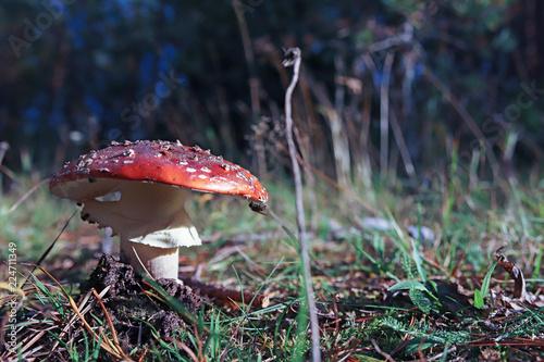 Valokuvatapetti Dancing mushroom