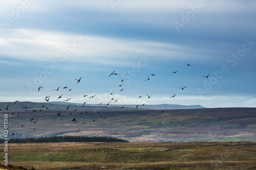Red Grouse Flying Wallpaper Mural
