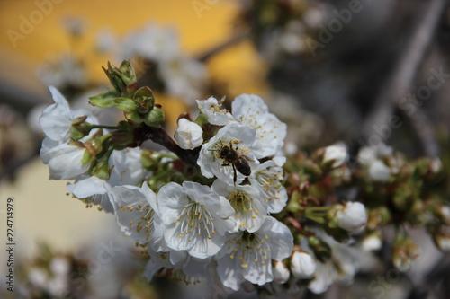 Цветущая ветка сливового дерева весной