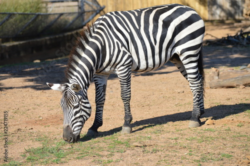 Photo  Zebra in the outdoors