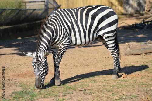 Zebra in the outdoors