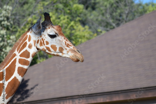 Giraffe in the outdoors