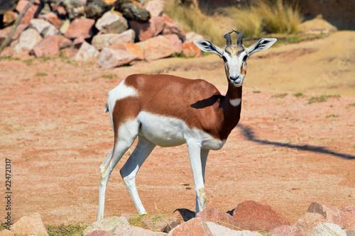 una gazzella in primo piano