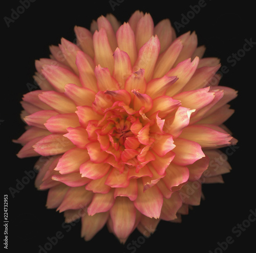 Dahlia on black background