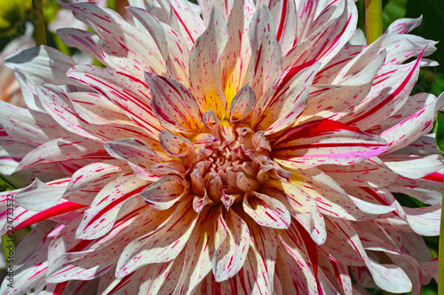Fotobehang Dahlia Close up of pink and white striped dahlia beauty