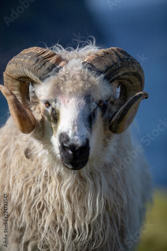 Fotobehang Schapen Färöer Inseln | Schaf