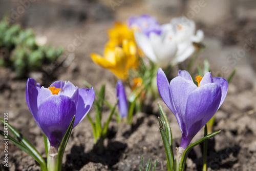 Spoed Foto op Canvas Krokussen Colorful crocus flowers on the spring sunny day