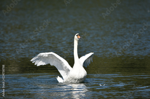 Flapping Swan on a Lake