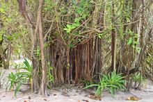 Banyan Tree Roots, On A Island...