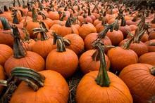 Field Of Pumpkins