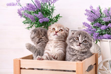 Scottish Kittens Are Playing In A Wooden Box. Lavender Flowers In The Background