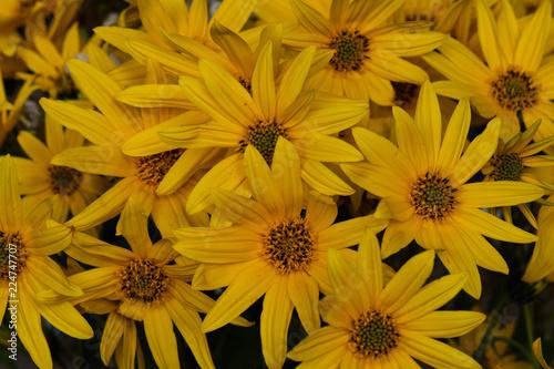 Fotografering  Closeup of bight yellow flowers of  Cutleaf Coneflower (Rudbeckia laciniata)
