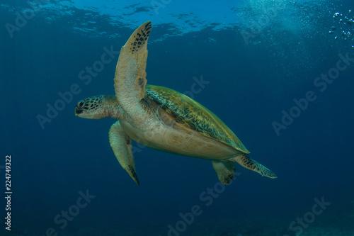 Fotografija  Green sea turtle, Chelonia Mydas.
