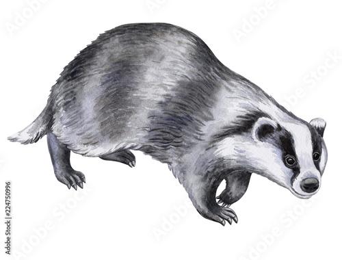 borsuka-zwierze-odizolowywajacy-na-bialym-tle