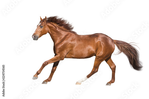 Fotografia, Obraz Red horse run gallop isolated on white background