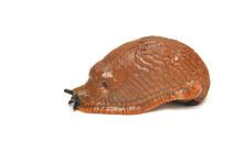 Arion Rufus Slug