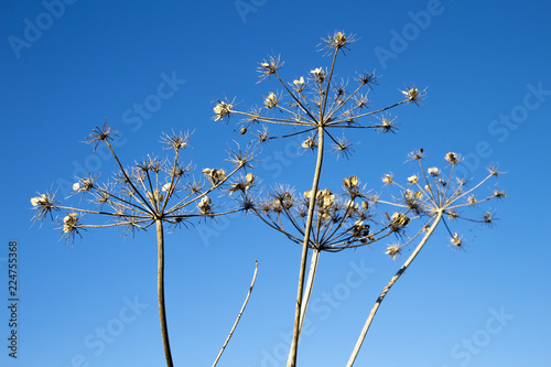 Fotografía  Giant Hogweed seed heads, the sap of the plant is phototoxic and causes phytopho