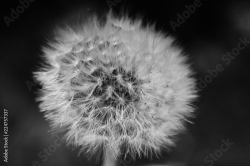 Fototapeta dandelion on black background obraz na płótnie