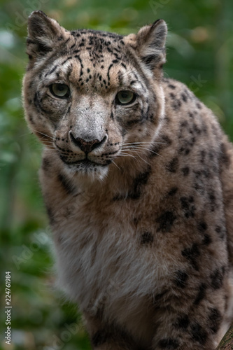 Deurstickers Luipaard Snow leopard