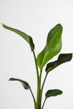 Strelitzia Reginae, Heliconia, Bird Of Paradise Foliage Isolated On White Background,