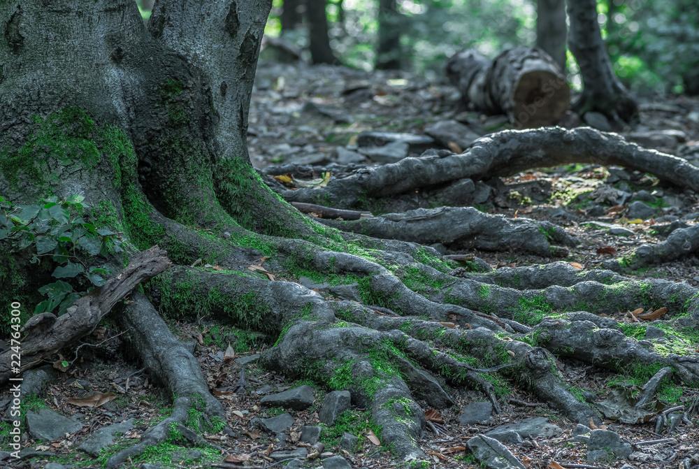 Fototapety, obrazy: porośnięte mchem korzenie starego drzewa