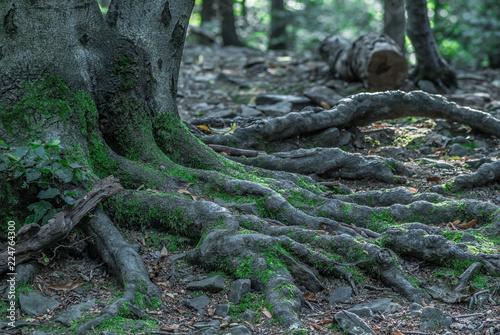 Fototapeta porośnięte mchem korzenie starego drzewa obraz