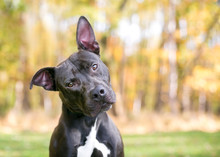 A Pit Bull Terrier Mixed Breed Dog Outdoors Listening With A Head Tilt