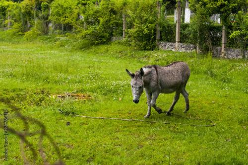 Deurstickers Ezel A pregnant donkey walks in a pasture