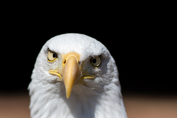 America gone mad. Cross-eyed American bald eagle face. USA national bird conceptual image.