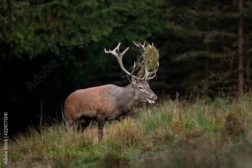 Deurstickers Hert red deer, cervus elaphus, Czech republic