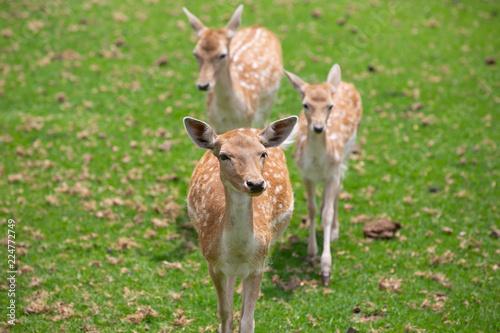 Deurstickers Hert fallow deer in the forest