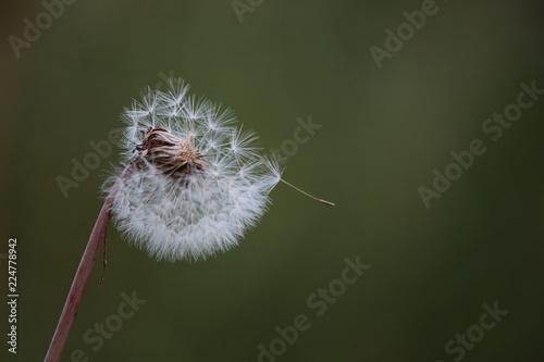dandelion, flower, nature, seed, plant, green, spring, white, summer, weed, wind, macro, grass, seeds, flora, fluffy, blowing, closeup, blossom, garden, soft, growth, blowball, head, wild