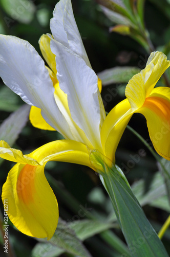 Close up of yellow and white iris flower