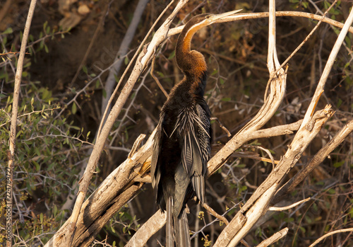 Fotografia, Obraz  African darter perched on dead tree branch