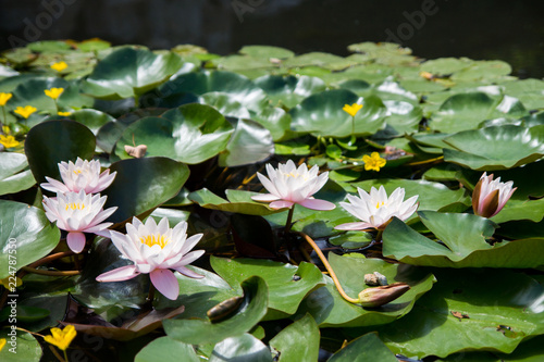 In de dag Waterlelies pink water lily in a pond