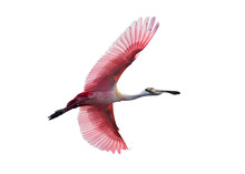 Roseate Spoonbill In Flight Is...