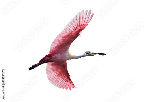 Fotografija  Roseate Spoonbill in flight isolated on white