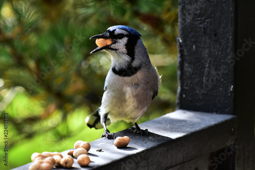 Deurstickers Vogel Colorful Blue Jay Bird Close Up