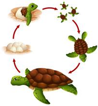 Life Cycle Of Turtle