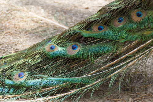 Foto op Plexiglas Pauw peacock with bright beautiful tail, beautiful pattern created by nature