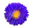 Leinwandbild Motiv Bright violet yellow decorative flower isolated on white background. Macro. Top view