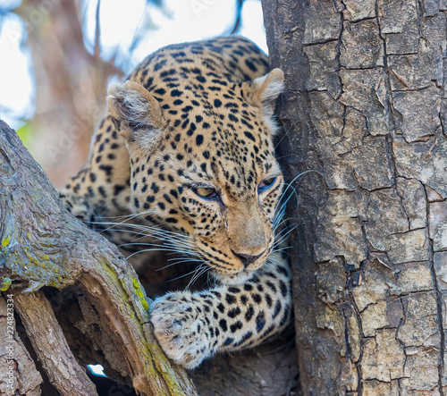 Tuinposter Luipaard African leopard (Panthera pardus pardus), resting in a tree, South Luangwa, Zambia