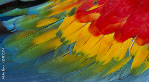 Poster Natuur Close up Colorful of Scarlet macaw bird's feathers with red yellow orange and blue shades, exotic nature background and texture