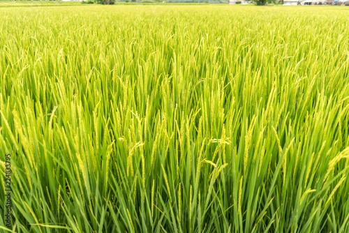 Fotobehang Cultuur Paddy field in Taiwan