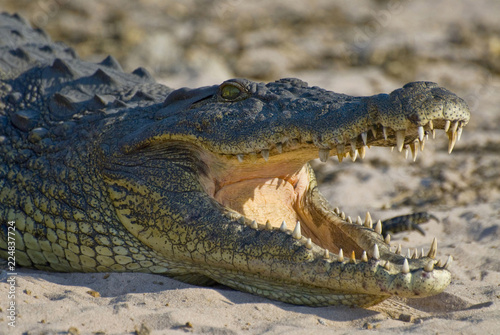 Fotografiet Nile crocodile with open mouth showing teeth in Chobe National Park, Botswana