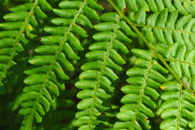 Leaves Of Bracken Green. A You...