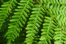 Leaves Of Bracken Green. A You...