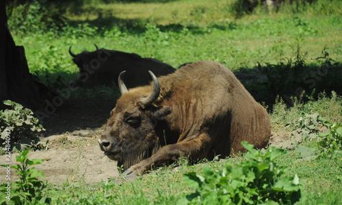 Two European bisons - zubr - in Polish region Bialowieza