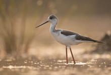 Black-winged Stilt Long Legged Water Bird Walking In The Lake At Sunrise.